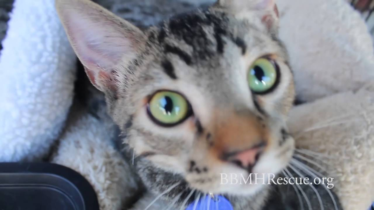 Beautiful Tabby Bengal Kittens for Pet Adoption from Cat Rescue