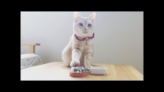 Cats ring a bell and ask for food! Bring me food!