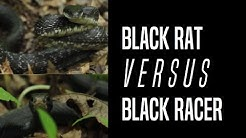 The Difference Between a Black Rat Snake and a Black Racer