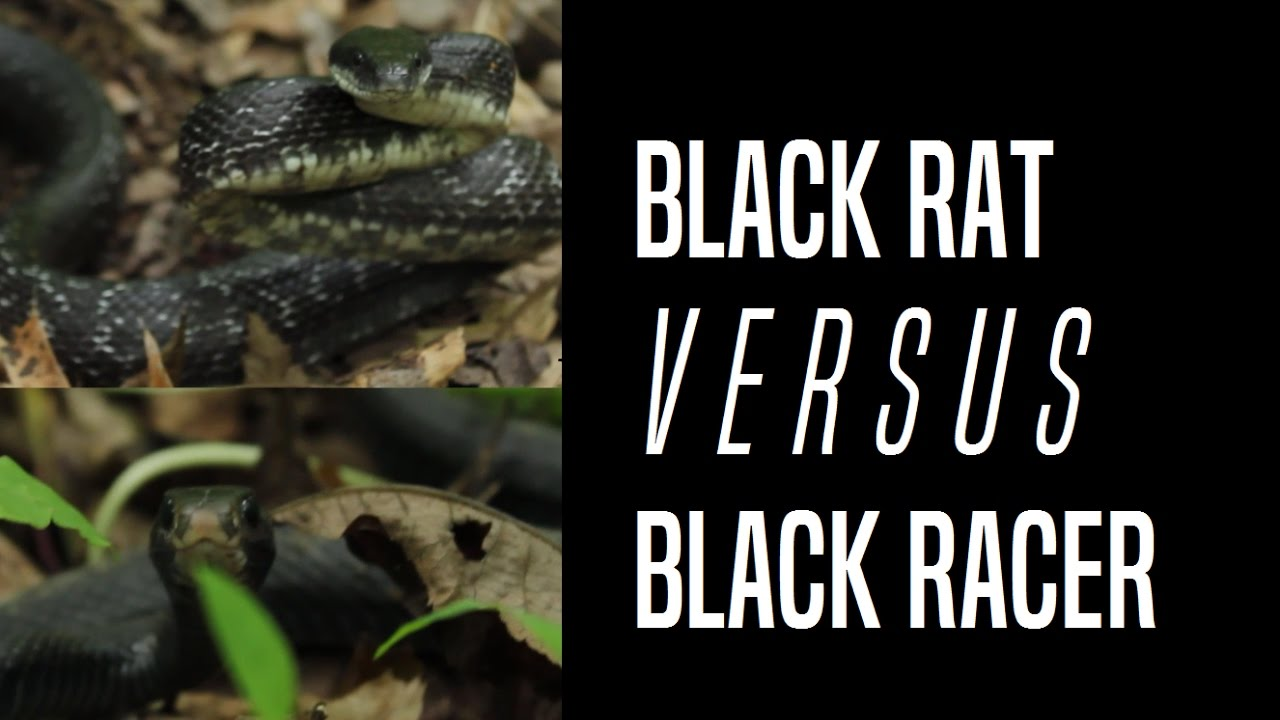 The Difference Between A Black Rat Snake And Racer