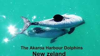 The Akaroa Harbour Dolphins - New Zeland