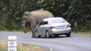 Elephant playing with a car