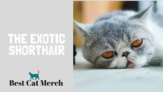 Exotic Shorthair Cats (Everything You Need to Know)