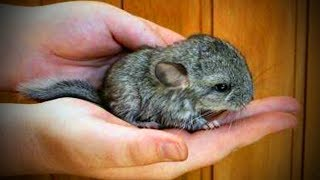 Funny Chinchilla 🐭Funniest and Cutest Chinchillas (Part 2) [Funny Pets]