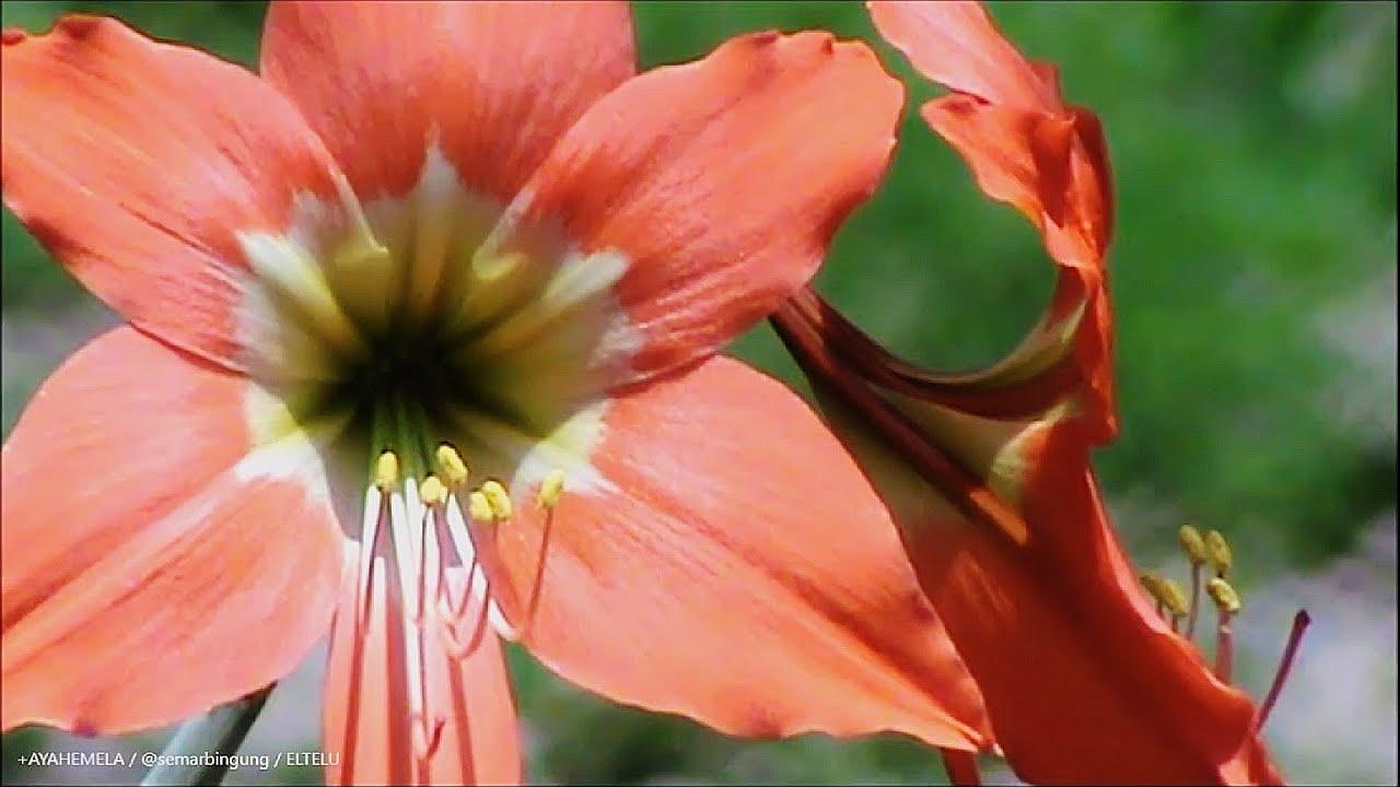 Kembang Bakung Atau Bunga Lily Warna Orange Youtube