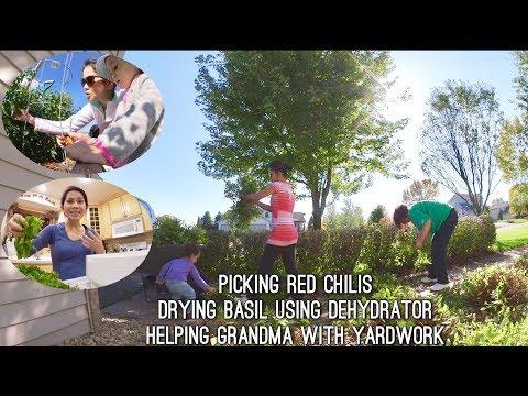 VLOG DRYING BASIL USING DEHYDRATOR | HELPING GRANDMA WITH YARDWORK | PICKING RED CHILIS