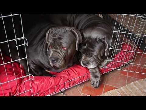 Neapolitan Mastiffs Sharing Their Beds!
