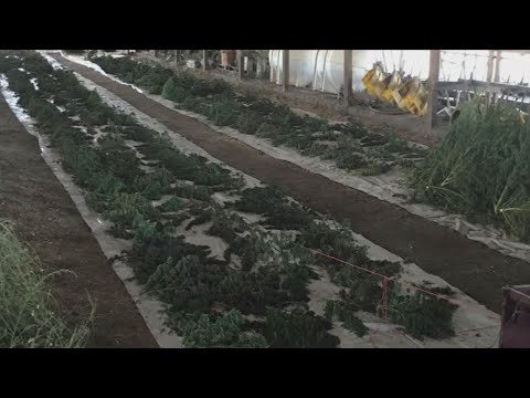 Federal authorities seized over 500,000 illegal marijuana plants in Merced County