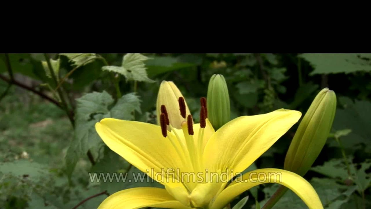Yellow lily a symbol of gaiety youtube yellow lily a symbol of gaiety izmirmasajfo