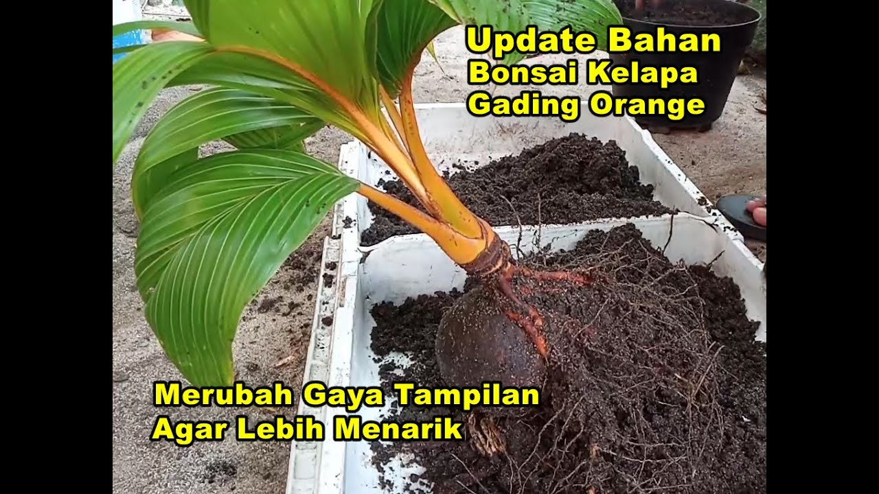 Merubah Tampilan Bonsai Kelapa Gading Orange Agar Tampak Cantik