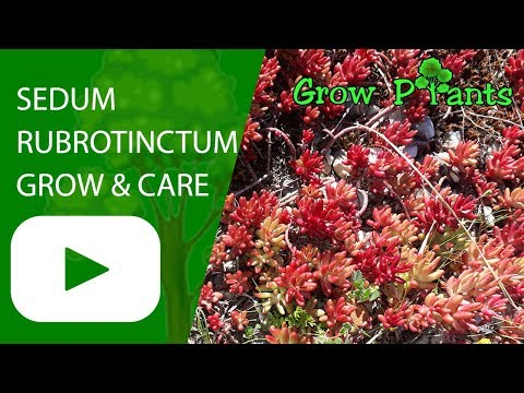 Sedum rubrotinctum - growing and care