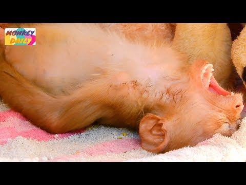 MG! Axel Baby Do Old Hobbit Why Act Like That | Axel Happy With It & With New Bed |Monkey Daily 2788