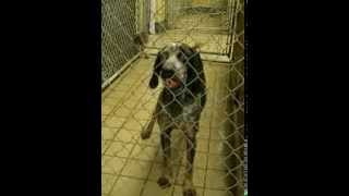 Vinnie - Bluetick Coonhound At Mahoning County Dog Pound In Youngstown Ohio - November 18 2013