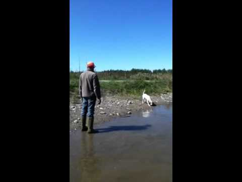 English pointer female swimming