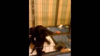 Английский кокер спаниель  щенок 1,5 месяца