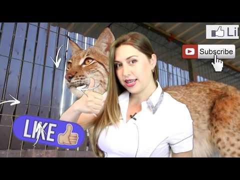 Вопрос: Какая порода кошек самая ласковая и добрая?