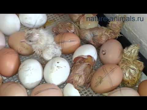вылупление цыплят из инкубатора видео простом