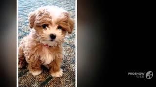 Maltipoo Dog Breed