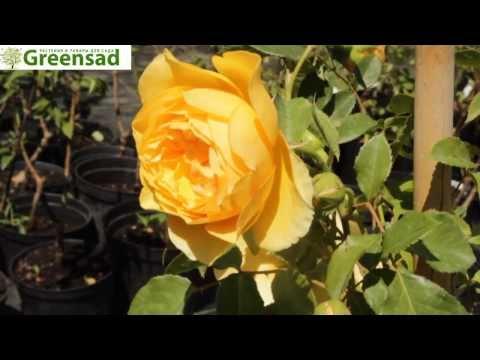 Роза плетистая Перпешуали Йорз - видео-обзор от Greensad