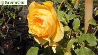 "Роза плетистая ""Перпешуали Йорз"" - видео-обзор от Greensad"