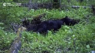 Купающийся медведь в заповеднике  Столбы