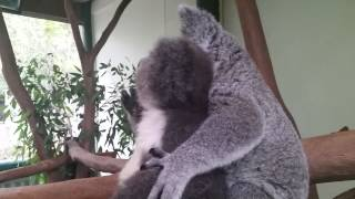 Archer the Koala with best friend Aria