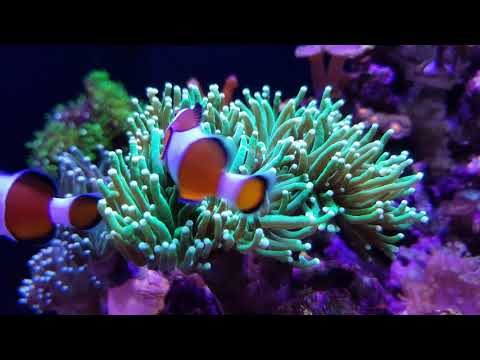 Clown Fish In Torch Coral (Samsung S7)