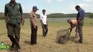 Release of fishing cat !