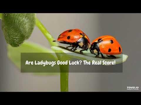 Are Ladybugs Good Luck? The Real Score!