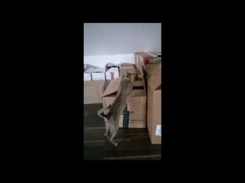 Funny Cat fight in a box scottish fold singapura kitten