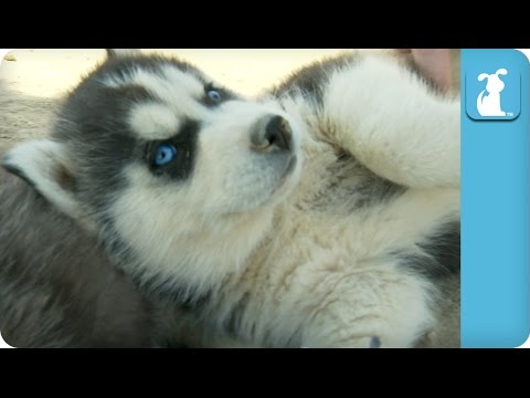 Husky Gets Belly Rub and LOVES IT! - Puppy Love