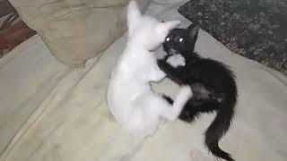 The epic fight - Kittens fighting ferociously   Black vs White