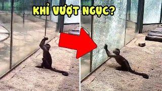 Khỉ Vượt Ngục! 11 Động Vật Có Trí Thông Minh Siêu Đẳng Ngang Ngửa Loài Người - Chuyện Lạ Kỳ Thú