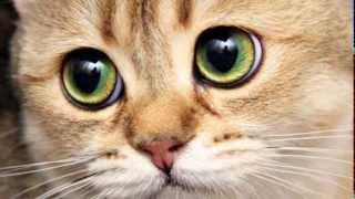 Кошки с самыми большими глазами показ слайдов 2015!