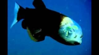 Удивительная рыба с прозрачной головой
