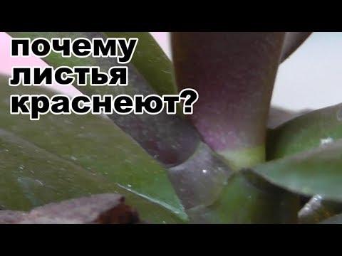 Вопрос: Почему у орхидеи начали раздваиваться листики?
