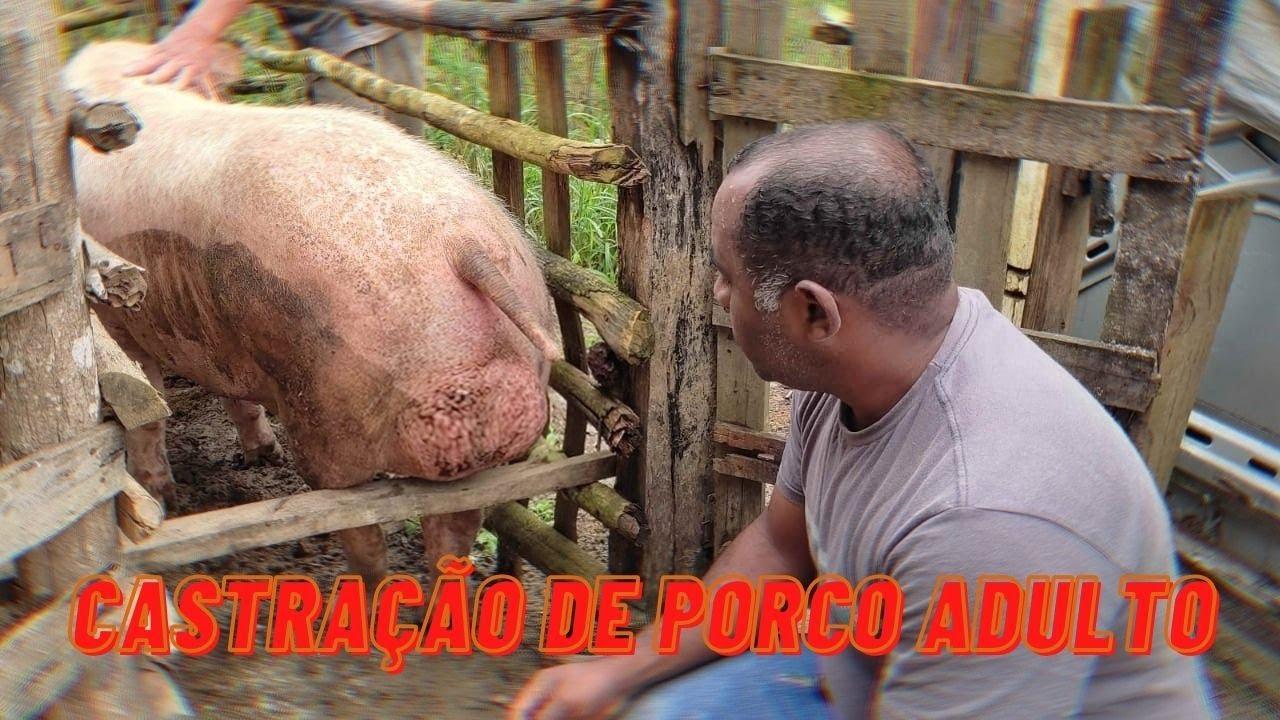 CASTRAÇÃO DE UM PORCO ADULTO - como fazer!