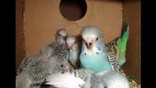 Muhabbet Kuşlarında Yavruları Ayırma Ve Yeme Alıştırma Nasıl Olmalı ?