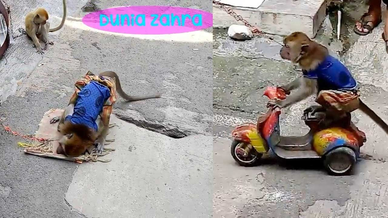 Download 65+ Gambar Monyet Naik Vespa Terbaru Gratis