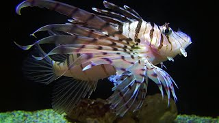 ミノカサゴ Luna lionfish Pterois lunulata