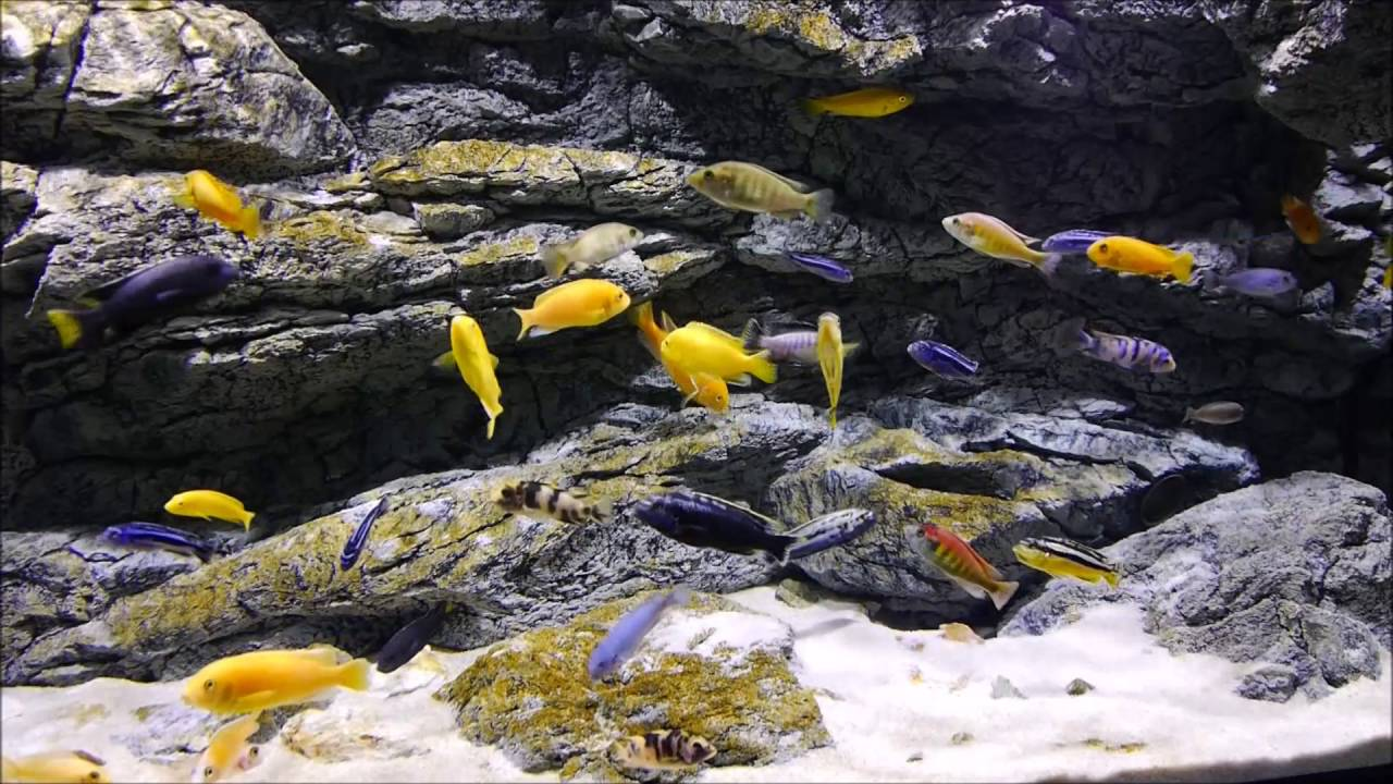 arstone aquarium background 160x60 cm in malawi cichlid tank youtube. Black Bedroom Furniture Sets. Home Design Ideas