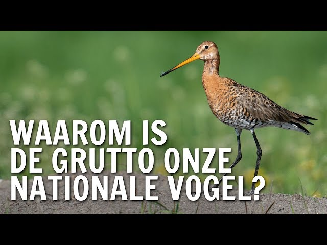 Waarom is de grutto onze nationale vogel? | De Buitendienst over de Grutto