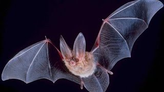 Secrets and Mysteries of Bats - Nature Documentary(Secrets and Mysteries of Bats - Nature Documentary This 48-minute documentary explores the world of bats and the scientists who study them -- including the ..., 2014-07-11T22:35:29.000Z)