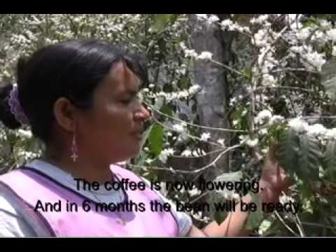 GUATEMALAN ORGANIC SMALL COFFEE GROWERS AT-WORK