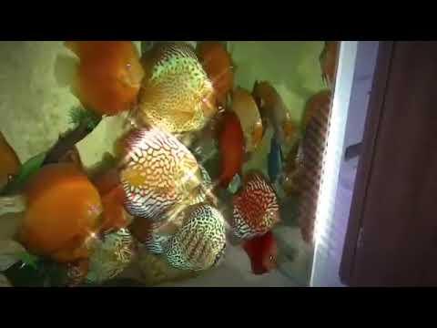 Разведение и продажа аквариумных рыбок. Большой выбор. Низкие цены. Доставка по украине. 066 679-00-46, 096 611-34-66, 063 490-47-76.