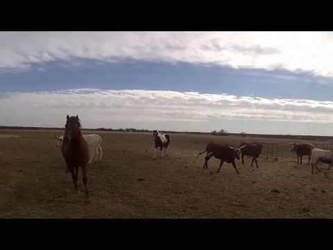 Texas Longhorn Run