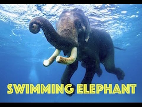 Swimming Elephant by Real Freedom Productions