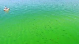 Hundreds of sharks gather off the coast of Florida