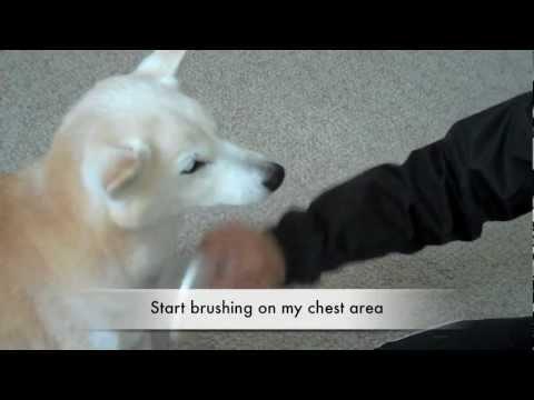 Shiba Inu Sachi - Grooming 101: Brushing