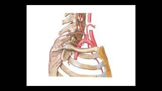 Cardíacos aorta vasos